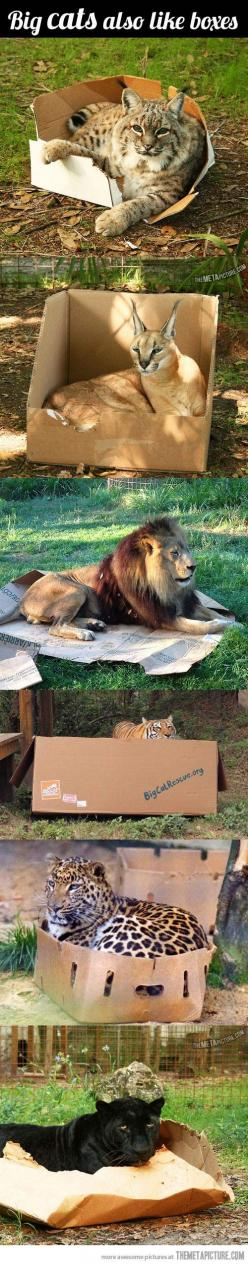Big cats are just cats - they also love boxes!  I love the lion's box is completely crushed.  LOL: Fit, Kitty Cat, Animals, Big Cats, Bigcats, Cat Love, Boxes, Cat Trap, Big Kitties