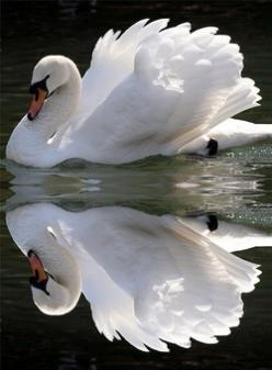 Birds!  Any kind!  I love to watch them fly in the sky or hear their happy twittering in trees!: Animals, Swan Reflection, Beautiful Swan, White Swan, Creatures, Beautiful Birds, Photo