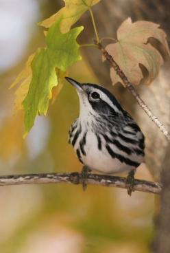 black and white warbler...saw one years ago on the Mississippi flyway!!! Amazing to see a black & white bird...: Black And White Bird, White Warbler Looks, Of Birds Birds, Black White Warbler, Nature Birds, Birds Warblers, Beautiful Birds, White Warbl