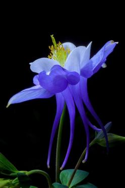 ~~Blue Aquilegia | Columbine | by David Millard~~: Amazing Flowers, Beautiful Flowers, Blue Flower, Columbine Aquilegia, Blue Aquilegia, David Millard, Blue Columbine, Animal