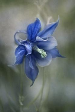 Blue Columbine by Mandy Disher I love this flower! And yet we can't forget Columbine.: Mandy Disher, Flowers Plants, Art, Beautiful Flowers, Blue Flower, Garden, Photo, Blue Columbine, Flower