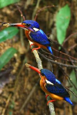Blue-eared kingfisher. The usual habitat is pools or streams in dense evergreen forest and sometimes mangroves, situated under 1,000 metres (3,300 ft) of altitude.: Azure Kingfisher, Beautiful Birds, Beautifulbirds, Bird Watching, Animal, Blue Eared Kingf