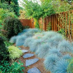 Blue Fescue for the garden behind the cedar center!: Blue Fescue, Yard, Ornamental Grasses, Full Sun, Outdoor, Landscape, Garden