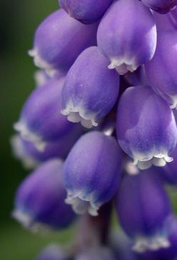 ~~ Blue Grape Hyacynth by Len Matthews ~~: Blue Hyacynth, Purple, Color, Beautiful Flowers, Gardening Flowers Decor Diy, Bloom, Grape Hyacynth, Blue Grape, Photo