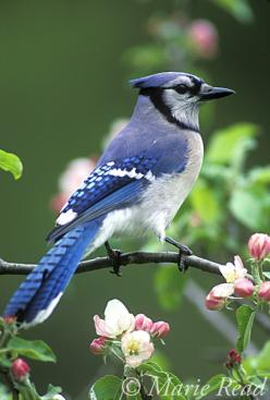 Blue Jay (Cyanocitta cristata) perched amid apple blossom in spring, New York, USA: Blue Jays Bird, Birds Birdhouses, Blue Jay Birds, Birds Baths Houses, Blue Jay One, Bluejays Cardinals, Blooms Birds, Birds Blue, Blue Birds