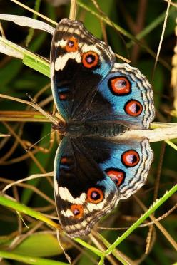 Blue Pansy (Junonia orithya, Nymphalidae)  occurring from Africa, through southern and south-eastern Asia, and in Australia.: Pansy Junonia, South Eastern Asia, Flutterby, Junonia Orithya