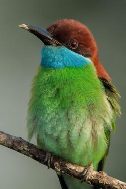 Blue-Throated Bee-Eater: Photos, Bees, Poultry, Blue Throated Bee Eater, Bee Eater Birds, Animals Birds, Beautiful Birds
