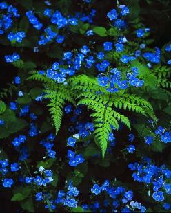 Blue veronica with ferns. Gorgeous for the shade garden!: Shade Plant, Garden Ideas, Color, Shade Garden, Forget Me Not, Blue Flower