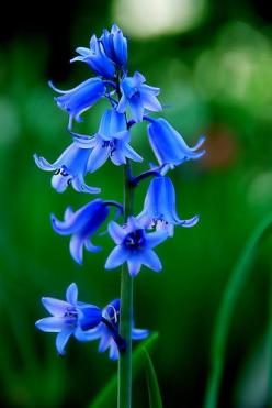 Bluebells - what gorgeous color they bring to one's garden. Bluebells are a perennial; they come up each spring, and are a delight. I have several planted in a shady area underneath an oak tree. The best time to plant these bulbs are in the late summe