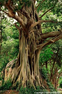 Bodhi Tree Bodh-Gaya, India Probably the most respected and most visited tree in the world grows in India, in Bihar State, in the Buddhist Mahabodhi temple. According to the legend, it is at this point that Prince Siddhartha once attained enlightenment an