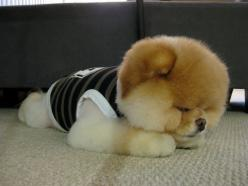 Boo the Dog...one of the cutest dogs ever!: Puppies, Boo, Adorable Animals, Cutest Dogs, Pets, Puppy, Pomeranian