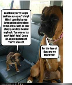 boxers - my 85# male let the new 15# puppy chase him around and chew on him until I thought I'd lose my mind. Best buds.: Animals, Dogs, Funny Stuff, Funnies, Humor, Boxers, Funny Animal