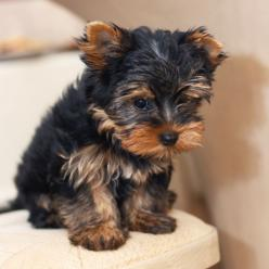 breeds of dogs that don't shed | The Long and the Short of It: Ten Dog Breeds That Dont Shed Hair: Ten Dog, Short Hair Dogs, Small Dogs, Dogs Breeds, Dog Breeds That Dont Shed Hair, Short Haired Yorkie, Breeds Of Dogs, Popular Dog, Short Haired Dogs