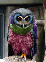 Bright Feather Owl  ❤: Birds Owls, Color, Bright Feather, Hoot Hoot, Beautiful Birds, Owl Animal