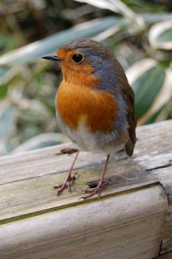 "British cousin of the American Robin. According to my British friend, Anita, they are ""feisty wee beasties"" ;D: English Robin, Art Birds Robins, Birdie, Pretty Birds, Beautiful Birds, Photo, Redbreast, Animal"