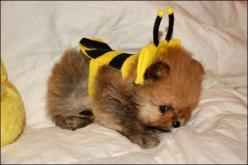 Bumble puff.: Animals, Costumes, Dogs, Pets, Bumblebee, Puppys, Adorable, Bumble Bees
