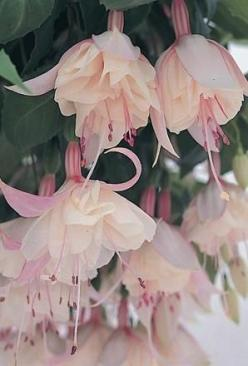 Buy Fuchsia Trailing Happy Wedding Day - Plants - Unwins Seeds: Beautiful Flower, Trailing Happy, Unwins Seeds, Trailing Fuchsia, Fuchsia Trailing, Fuschia Flower, Pink Fuchsia, Happy Wedding Day, Buy Fuchsia