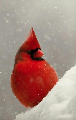 Cardinal in snowfall...such a beautiful sight each winter.....just wish we had winters like this to see the contrast!: Redbird, Winter, Cardinal Birds, Beautiful Birds, Favorite Bird, Red Birds, Cardinals, Animal