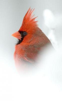 Cardinal Male Snow: Birdie, Front Window, Backyard, Beautiful Birds, Red Birds, Birds Cardinals