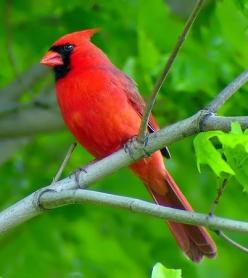 Cardinal...so beautiful... have lots of these birds at my feeders !: Beautiful Birds, Favorite Bird, Animal, Cardinals