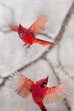 .Cardinals in a Snowstorm°°: Animals, Winter, Beautiful Birds, Cardinals