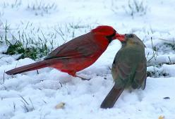 Cards in Love  Cardinals are supposed to be lifetime partners, and this is an example of true love, as they share the sunflower seed. . . Yes it is Spring even though there is snow on the ground.: Kiss, Animals, Winter, Sweet, Nature, Beautiful Birds, Car