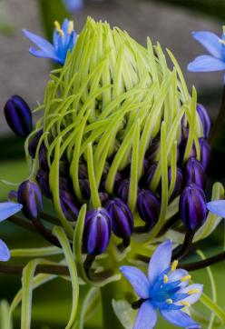 Caribbean lily: Flowers Plants, Lilies, Beautiful Flowers, Caribbean Lily, Flowers, Garden, Unusual Flower