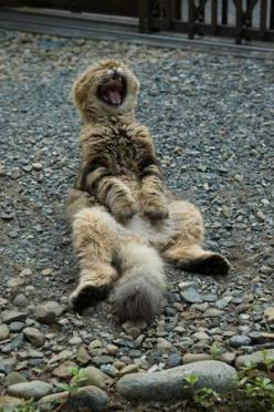 cat: Animals, Funny Cats, Funnies, Funny Animal, Dog, Belly Laugh, Cat Laughing