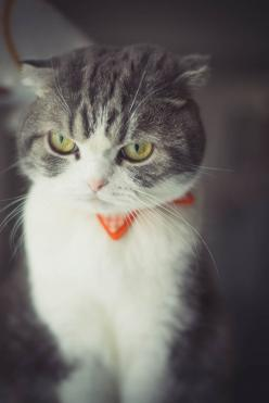 """* * CatAdvice.com: """" Me can'ts gets good reception in me area. Signed - White Noise >>>>>> ADVICE: You are not an antenna, Start respecting yourself and all will be clear.: Cats, Adorable Kitten, Scottish Fold Cat, Happy Cat, Flu"""