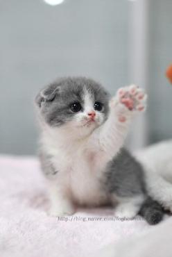 .: Cats, Cat Paw, High Five, Animals, Scottish Fold Kittens, Adorable Kitten, Leave Me, Kitty, Cute Kittens