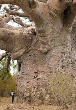 "Champion Trees - The Baobab is found in the the arid savannas of Africa and India, and known as ""The Tree of Life"" for its vitality and longevity.: Baobab Trees, Nature, Amazing Trees, Places, Africa, Tree Of Life"