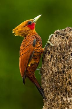 Chestnut Colored Woodpecker. Photo by Bill Holsten  http://sutton15445.tumblr.com/   Enjoy the view from my world...: Animals, Chestnut Colored Woodpecker, Bill Holsten, Poultry, Chestnut Coloured Woodpecker, Beautiful Birds, Photo, Bird Watching
