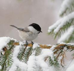 chickadee on a snowy branch    http://tinywhitedaisies.tumblr.com/post/359520830/adorablelife-gigimelo-french-knot-via: Animals, Nature, Snow, Winter Wonderland, Beautiful Birds, Chickadee, Photo