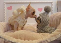 Chihuahuas... Soo adorable! Want an outfit like this for our chis Love Your Dog? Visit our website NOW!: Doggie, Animals, Chihuahuas, Dogs, Chihuahua Puppies, Pet, Puppy Outfit, Chihuahua Sweater
