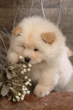 Chow-Chow, It is one of the ancient breeds and it was first seen in China. It has a round nozzle, large head, medium-sized body, curly tail and blue-black tongue. Its coat looks like that of a lion.: Animals, Dogs, Pet, Puppys, Chowchow, Chow Chow Puppies