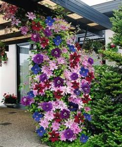 Clematis. I love this idea of planting different colors together. Beautiful!: Green Thumb, Garden Ideas, Yard, Color, Gardening Ideas, Clematis Mix, Gardening Outdoor, Flowers Garden