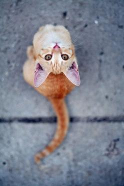 .   ...........click here to find out more     http://googydog.com: Kitty Cats, Animals, Kitten, Orange Cat, Meow, Pet, Photo