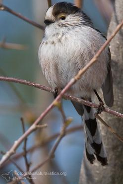 Codibugnolo (Aegithalos caudatus) - Long-tailed Tit: Birds Featheredfriends, Poultry, Created Birds, Beautiful Birds, Birdwatching Couch Potato, Animals Photos, Blue Tit, Birds Ԑ̮̑ ̮̑ɜ