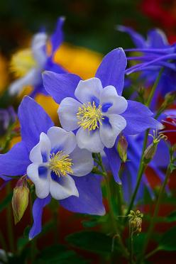 ~~Colorado Columbine by Lynn Bauer~~: Google, Blue, Columbine Flower, Posts, Gardens, Beautiful Flowers, Flowers, Colorado Columbine, Flower