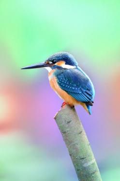 ☀Common Kingfisher ~ PIC_6424 by Ben To on Flickr**: Animals, Beautiful Animal, British Bird, Beautiful Birds, Common Kingfisher, Favourite Bird
