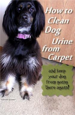 Condo Blues: How to Clean Dog Urine from Carpet and Keep Your Dog from Peeing on the Carpet Again: Diy Dog Bed, Clean Dogs Teeth, Dog Urine, Cleanses, Carpets, Dog Cleaning Tips, Dog Stuff
