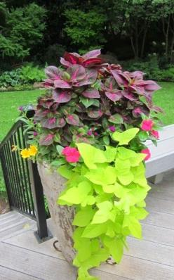 Container Garden: Container Gardens, Signature Gardens, Sweet Potato Vines, Yellow Sweet, Gardening Ideas, Container Plants, Perilla Magilla, Container Gardening