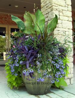 Container gardening: Banana tree, Cordyline, guara, scaevola and purple heart with sweet potato vine.: Container Gardens, Purple Hearts, Sweet Potato Vines, Outdoor, Gardening Containers, Flower Pots, Container Gardening