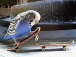 Coolest Bird Ever : ) (our bird would have loved these mini skateboards): Animals, Skateboarding Budgie, Budgies, Parrots, Coolest Parrot, Birdie, Birds