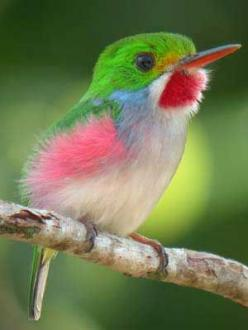 Cuban Tody (Todus multicolor) - Cuban is a year-round resident of portions of Cuba and islands just off the Cuban coast: Animals, Bees, Cuban Tody, Beautiful Birds, Cuban Bee, Hummingbirds