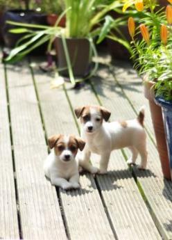 Cute 8 week old Jack Russell foster puppies: Jack Russells, Jack Russell Puppies, Russell Pups, Cute Puppies, Jack Russell Terriers, Jack O'Connell, Puppy, Baby, Animal