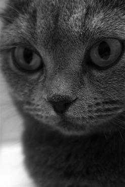 Cute cats 44 - Click on the image for more cute cats and pets info and pictures. #Cats: Grey Cat, Kitty Cat, Beautiful Cats, Cute Cats, Gray Cats, Cat Eyes, Pet, Alien Kitty, Animal