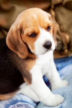 Cute Dogs and Cats: Top 5 Most Popluar Dog Breeds In America: Beagle Puppy, Beaglepuppies, Animals, Dogs, Beagle Puppies, Pet, Puppys, Beagles, Baby