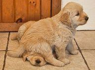 cute puppy puppies: Sit, Puppies, Animals, Dogs, Golden Retrievers, Pets, Funny, Puppys