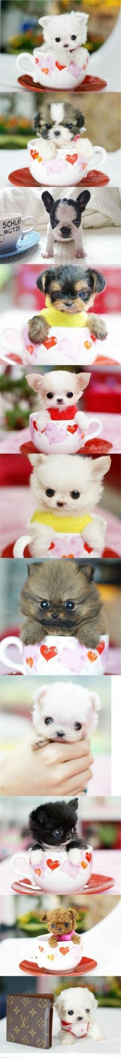 Cutest teacup puppies EVER!! I want every single one of these!!!: Cute Puppies, Tea Cup Puppy, Puppy Love, Teacup Puppies, Teacup Pups, Puppys, Tea Cup Dog
